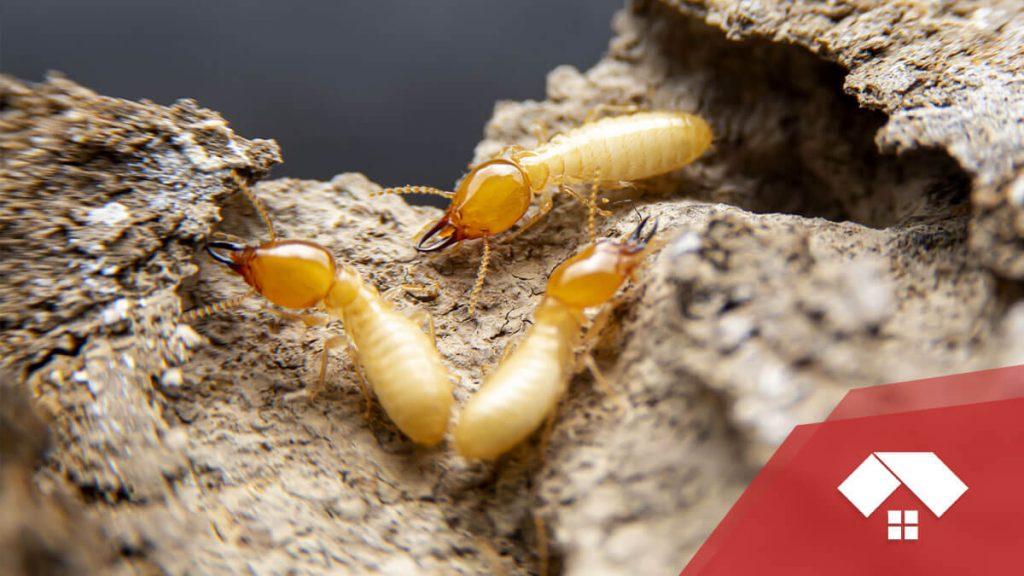 7 señales de que tienes termitas en la casa