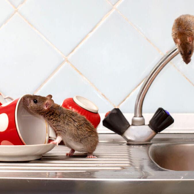 Cómo puedes saber si hay ratones y ratas en casa